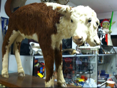 Gracie the two-headed calf from The Museum of the Bizarre in downtown Wilmington, NC.